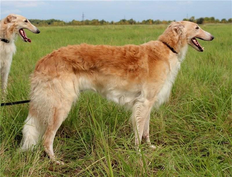 Русская псовая борзая: стандарт породы и характер собак
