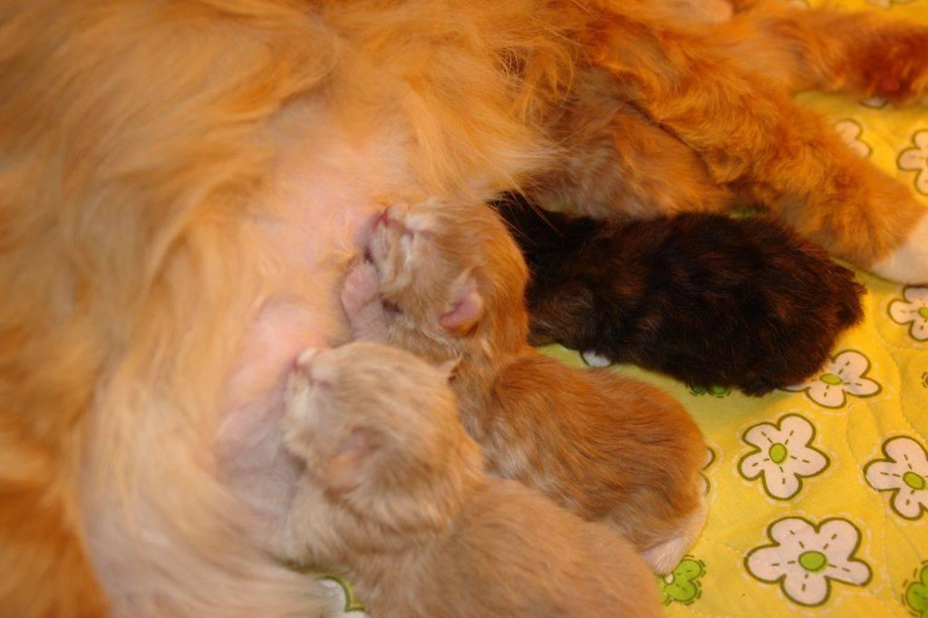 Роды у кошки:  признаки, сколько длятся, приём, осложнения