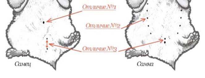 Как определить пол хомяков: техника осмотра, половые признаки