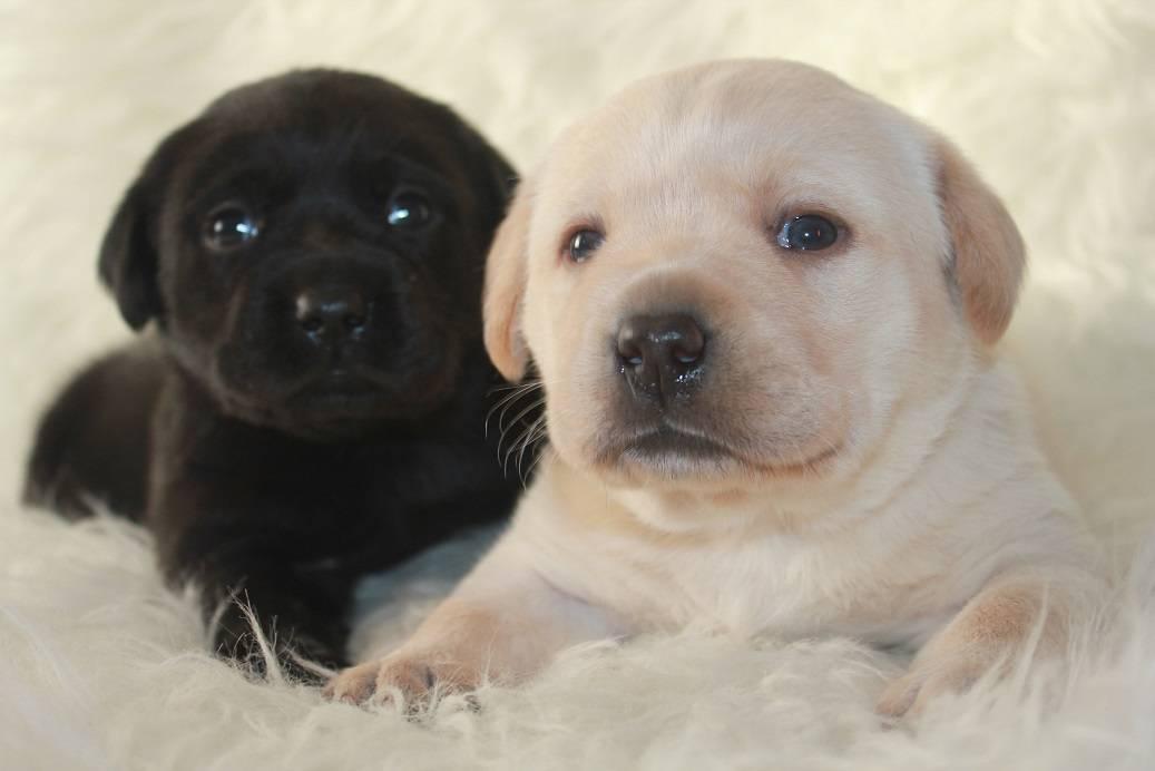 Лабрадор черный, шоколадный, карликовый белый и другие разновидности породы с фото