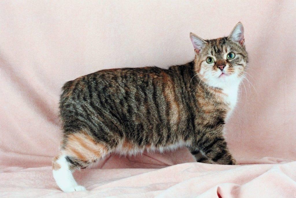 Бесхвостые кошки: популярные породы и правила их содержания