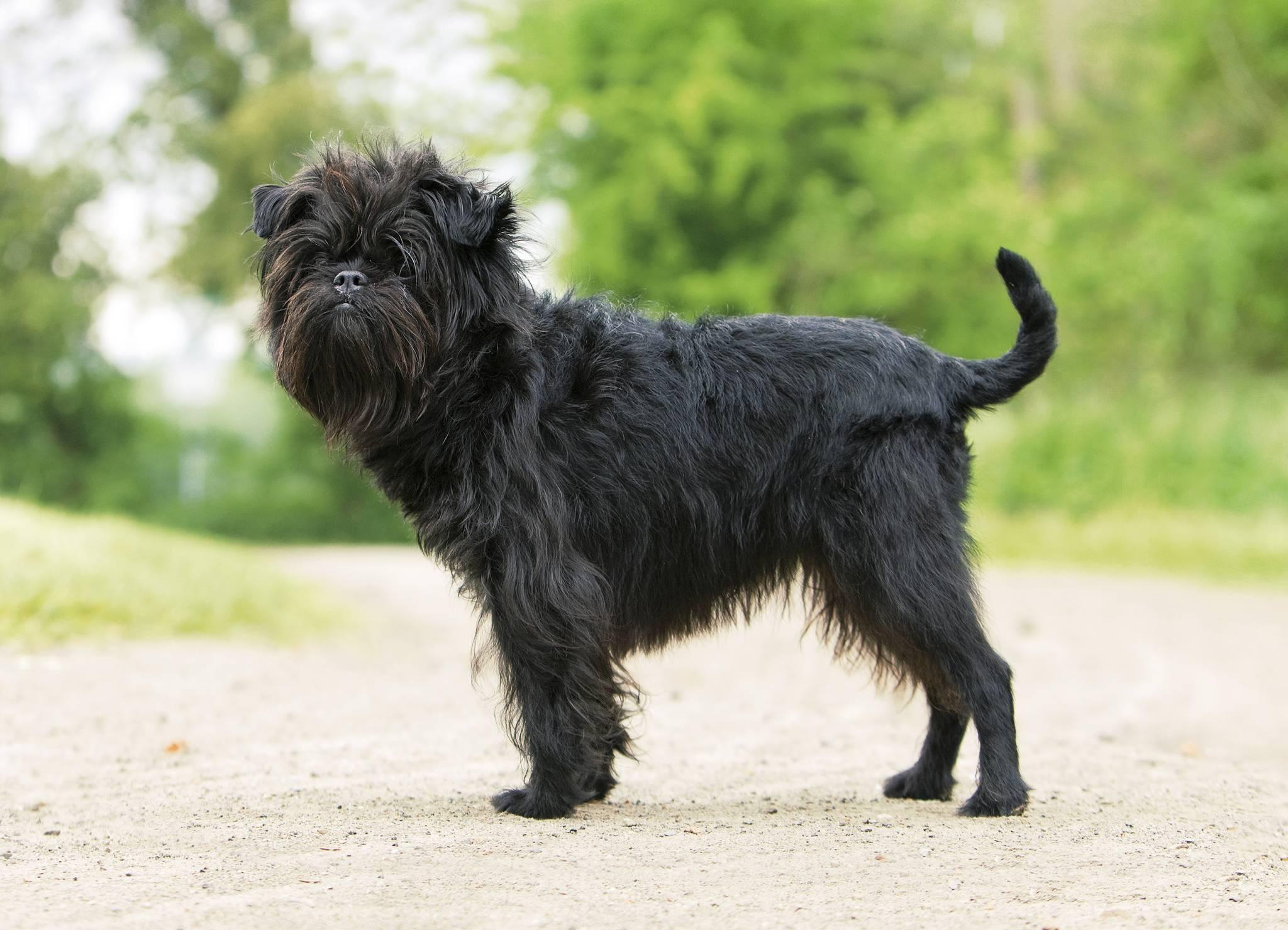 Аффенпинчер: описание породы, характер собаки и щенка, фото, цена