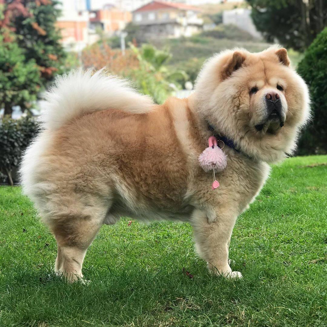 Чау-чау порода собак. описание, особенности, уход и цена собаки чау-чау