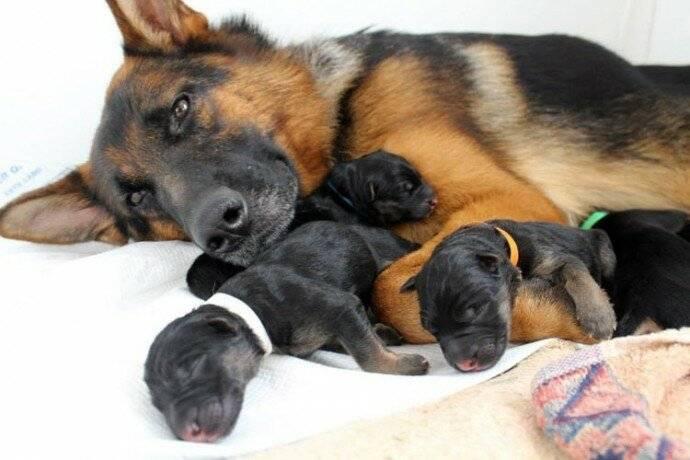 Правильный выбор щенка немецкой овчарки: мальчик или девочка, критерии