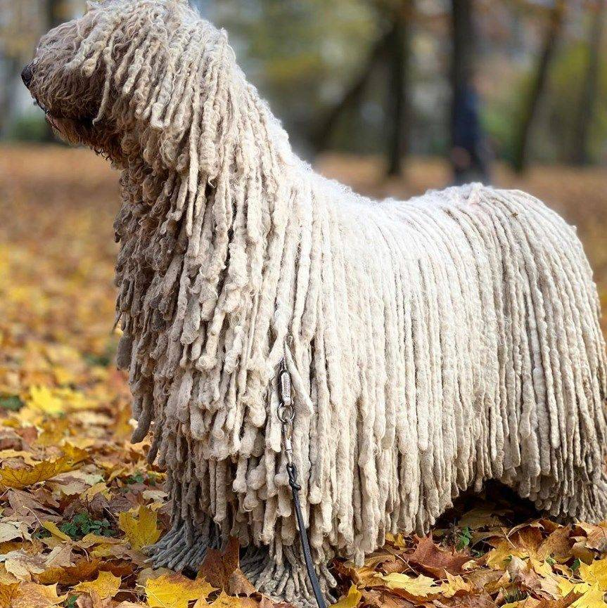 Волкособы: породы волчьих собак с фото, названием и описанием