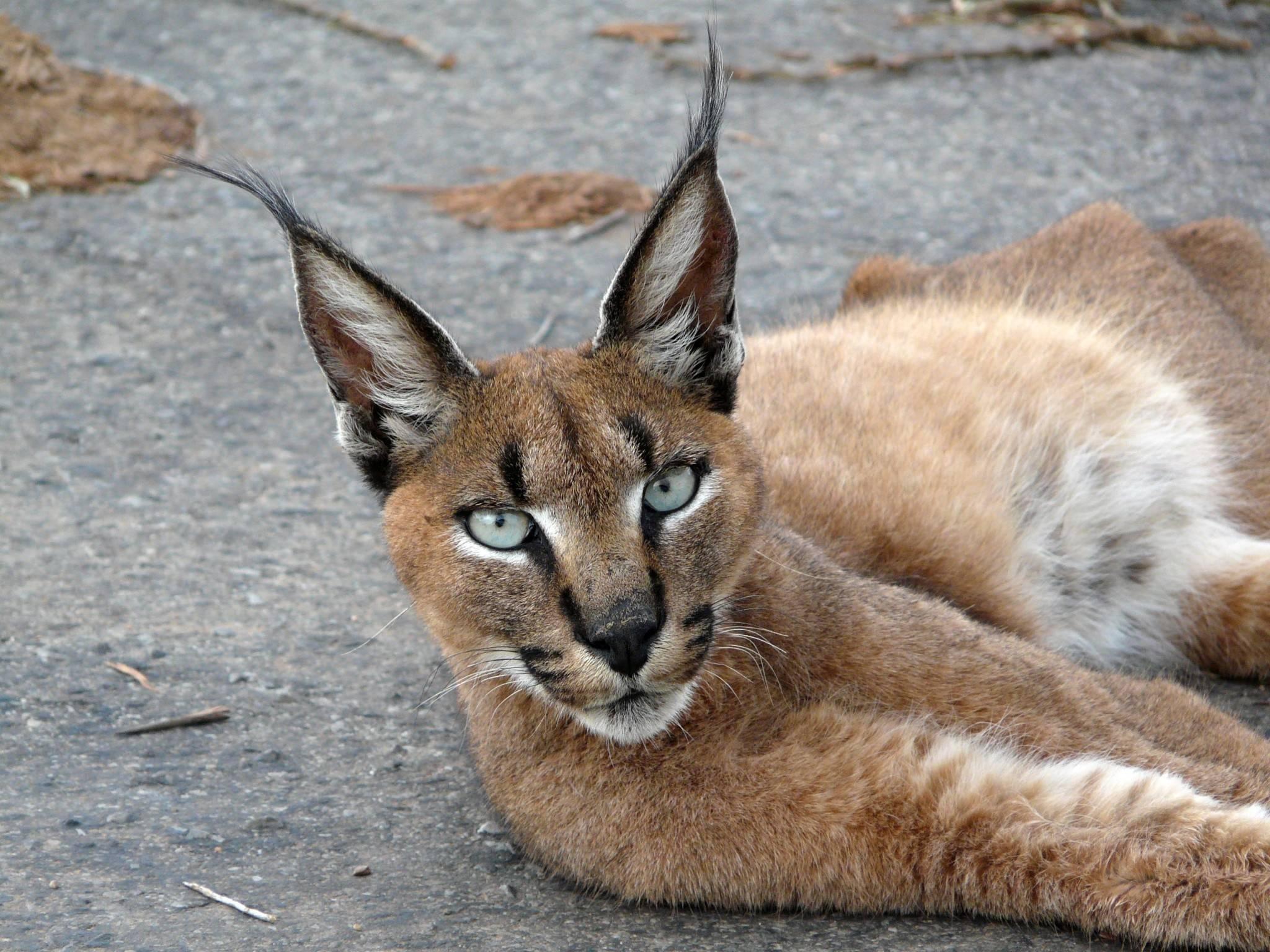 Варианты пород кошек которые похожи на рысь: как называются и как выглядят
