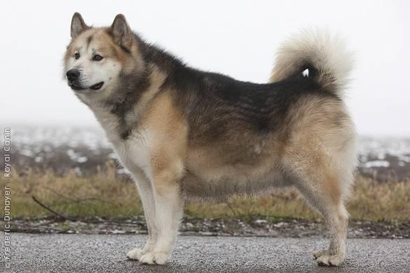 Гренландская собака (гренландсхунд): историческая справка, внешний вид и уход