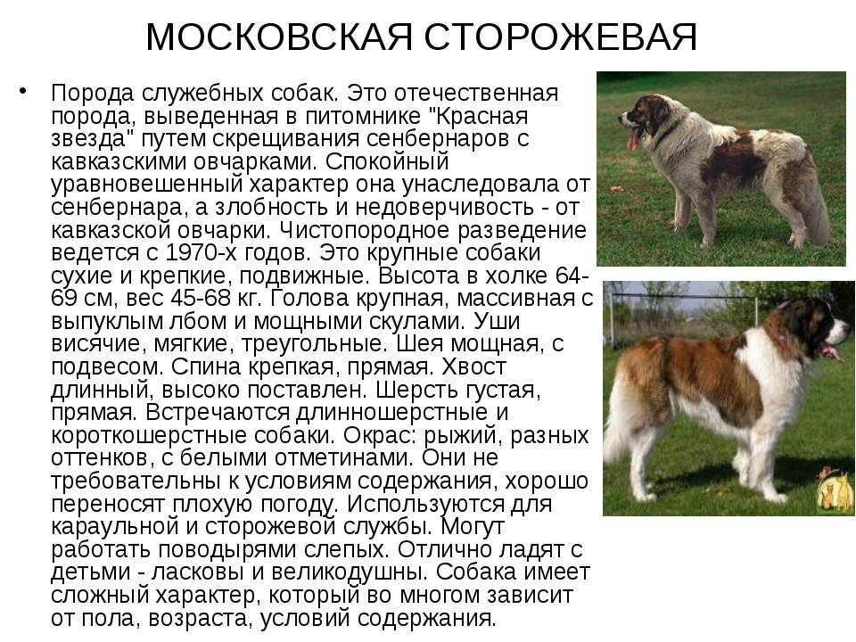 Кавказская овчарка: описание породы, характер собаки и щенка, фото, цена