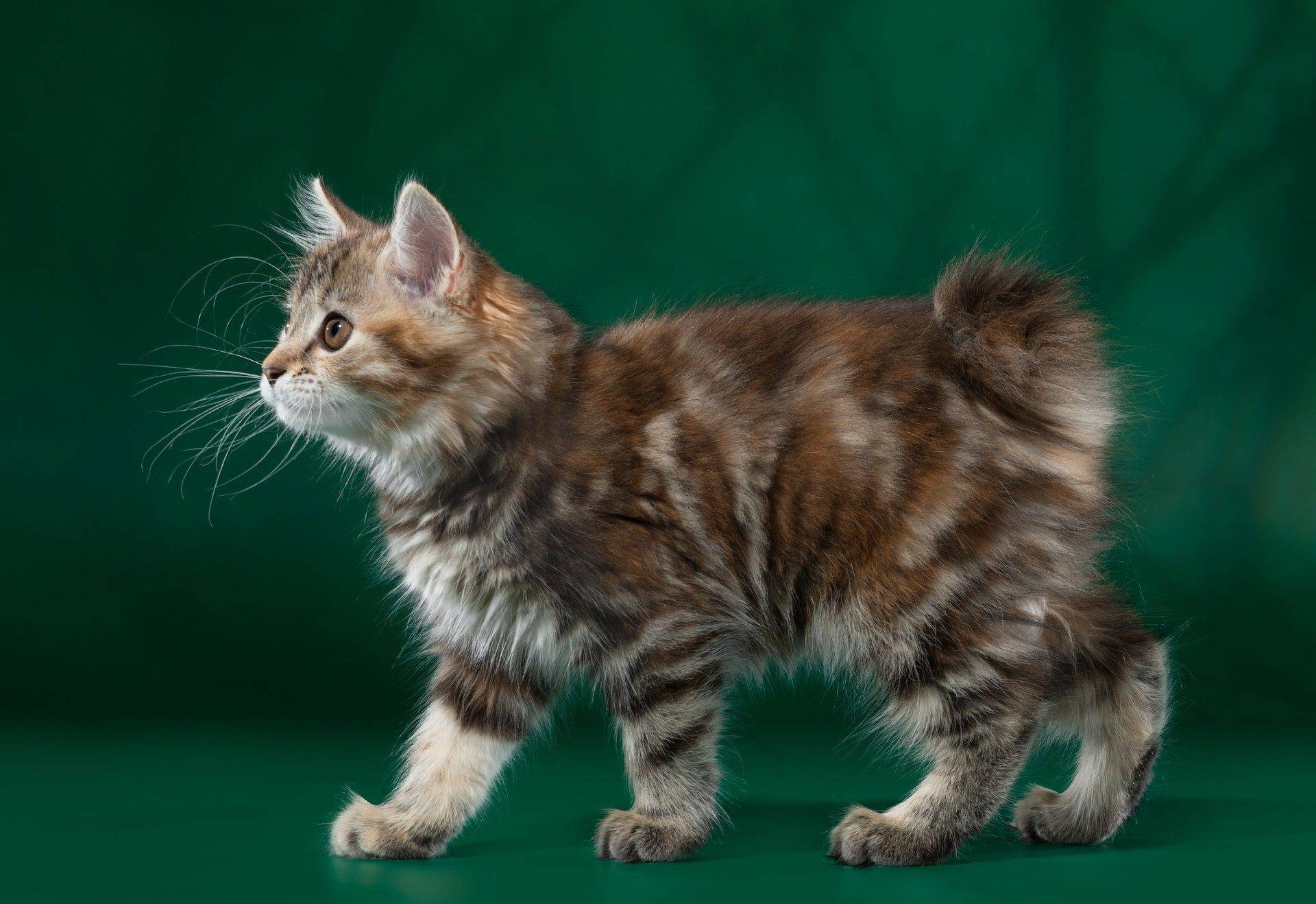 Курильский бобтейл: описание и фото породы, отзывы владельцев кошек и котов, уход за питомцем и его содержание