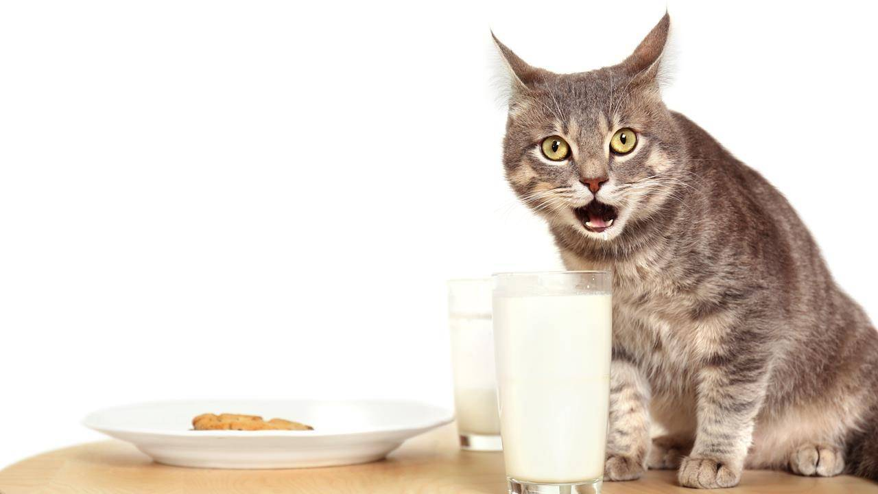 Можно ли кошкам молоко? почему нельзя давать кошкам и котам молоко после стерилизации и кастрирования? можно ли сухое молоко котятам и взрослым? почему кошки любят молоко?