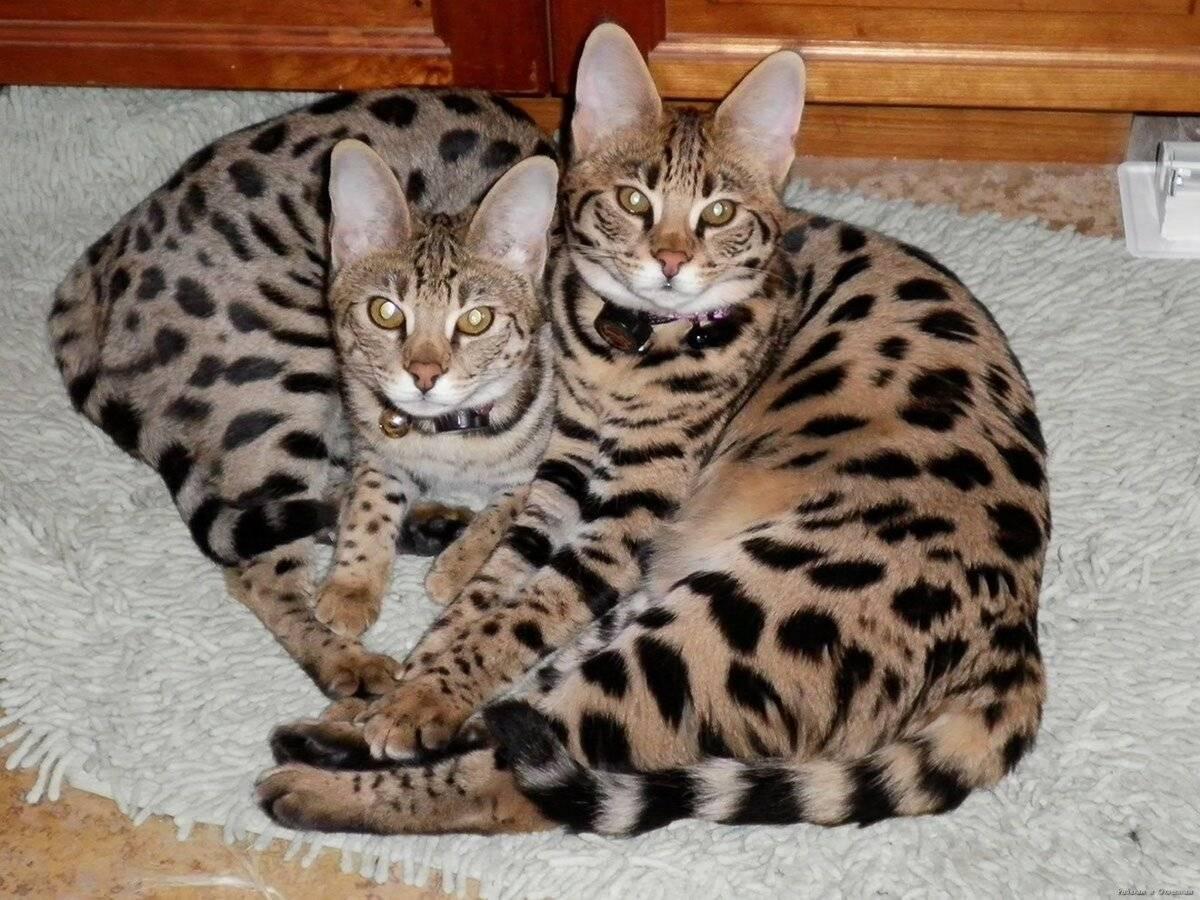Кот как леопард — что это за порода?
