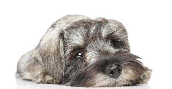 Собака миттельшнауцер - описание породы, уход, болезни