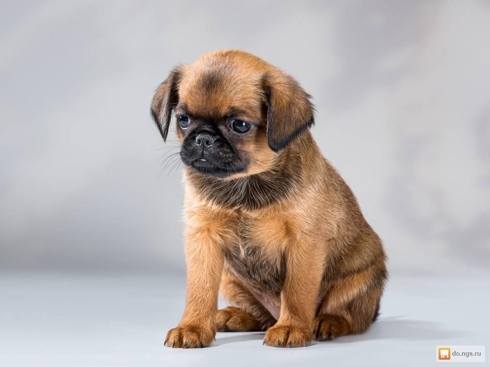 Пти брабансон ? фото, минусы породы собак, описание и характеристика, отзывы владельцев, стандарт породы, цена щенка