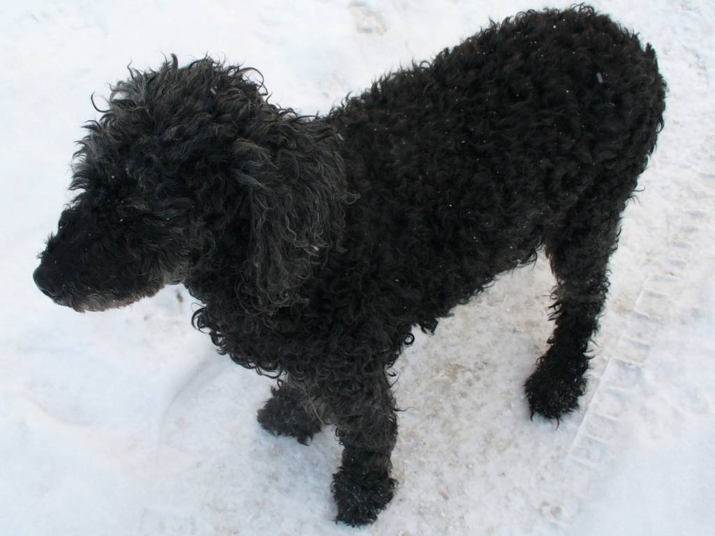 Рыжие породы собак — обзор с фотографиями и названиями