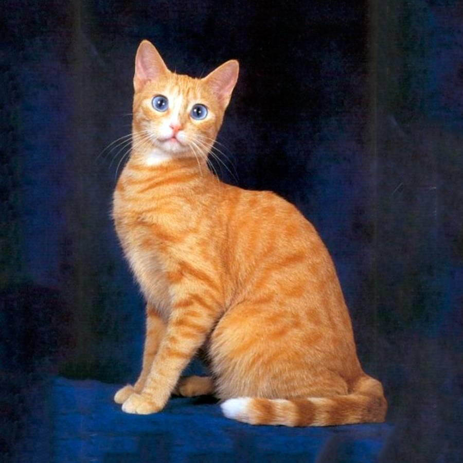 Бразильская короткошерстная кошка — описание пород котов