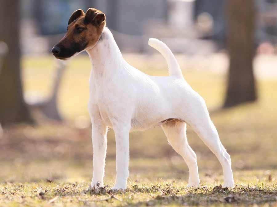 Фокстерьер: гладкошерстный, жесткошерстный, описание породы, уход и содержание, выбор щенка. размеры   zoosecrets