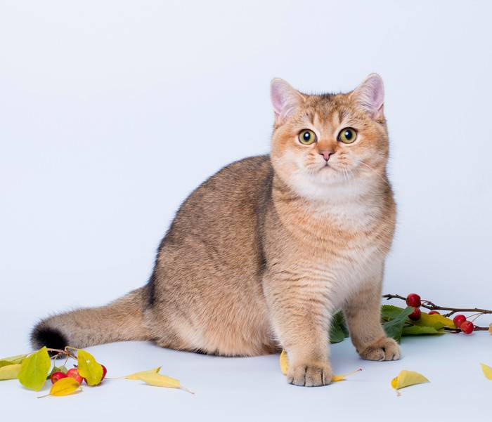 Коты породы золотая шиншилла: описание, фото кошки