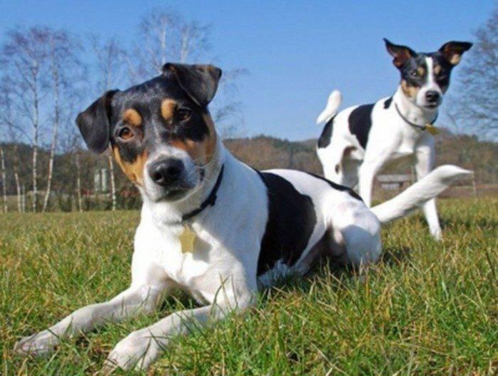 Содержание и уход за датско-шведской фермерской собакой