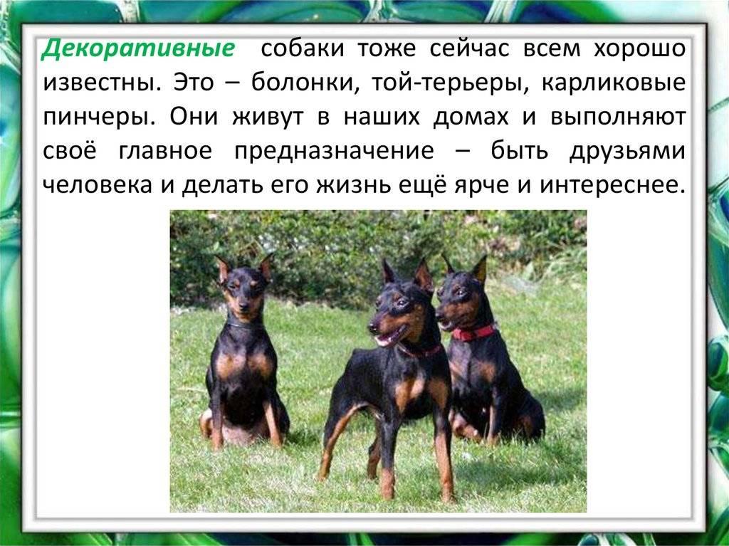Цвергпинчер собака. описание, особенности, виды, уход и цена породы цвергпинчер