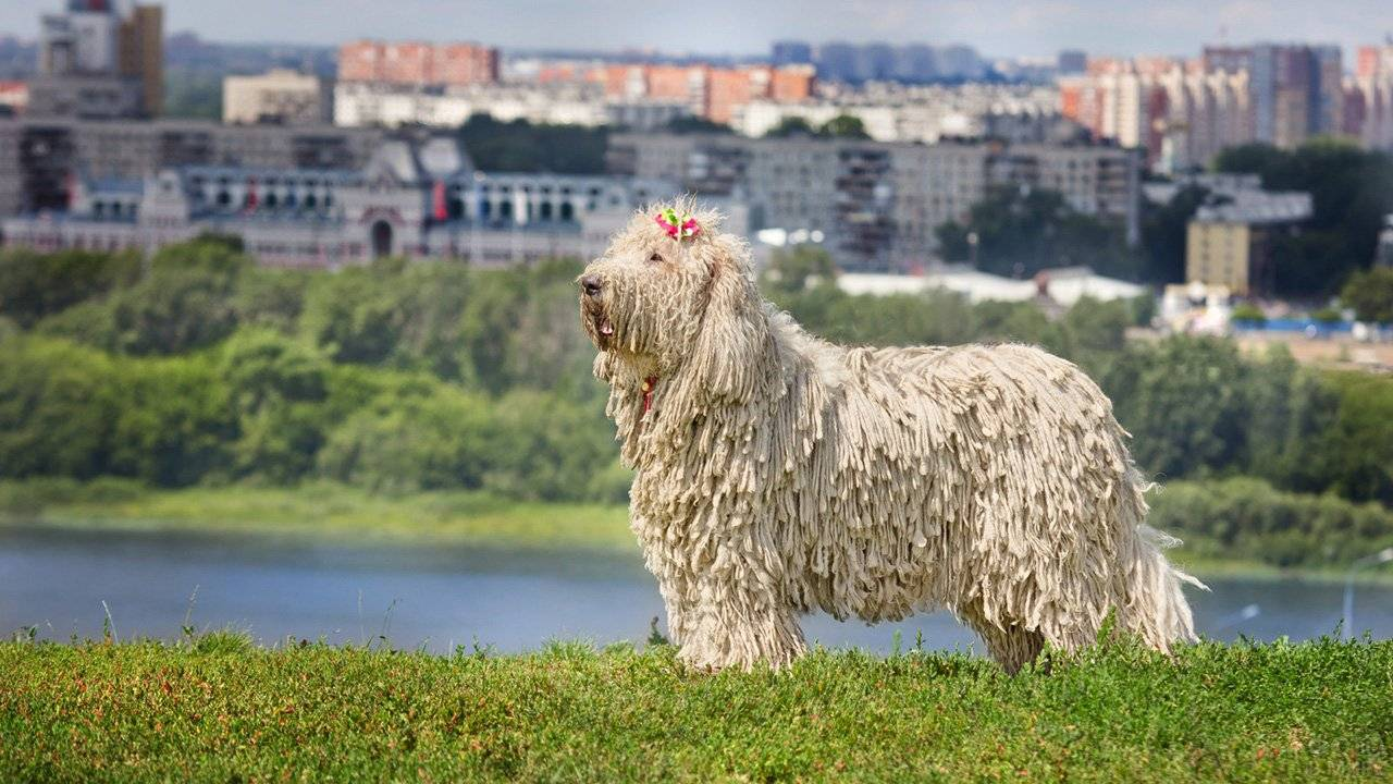 Собака командор (венгерская овчарка): описание, особенности