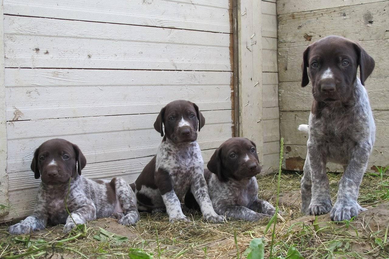 Клички для охотничьих собак, красивые имена для щенков мальчиков и девочек.