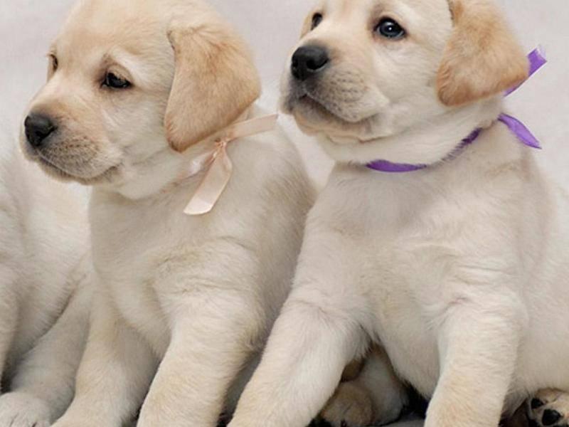 Лабрадор ретривер собака. описание, особенности, уход и цена лабрадора ретривера   sobakagav.ru