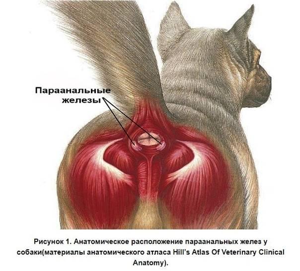 Чистка параанальных желез у собак, цена в москве, лечение воспаления параанальных желез у собак.