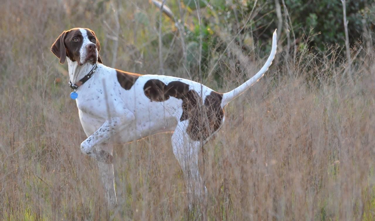 Пойнтер — аристократическая порода собак