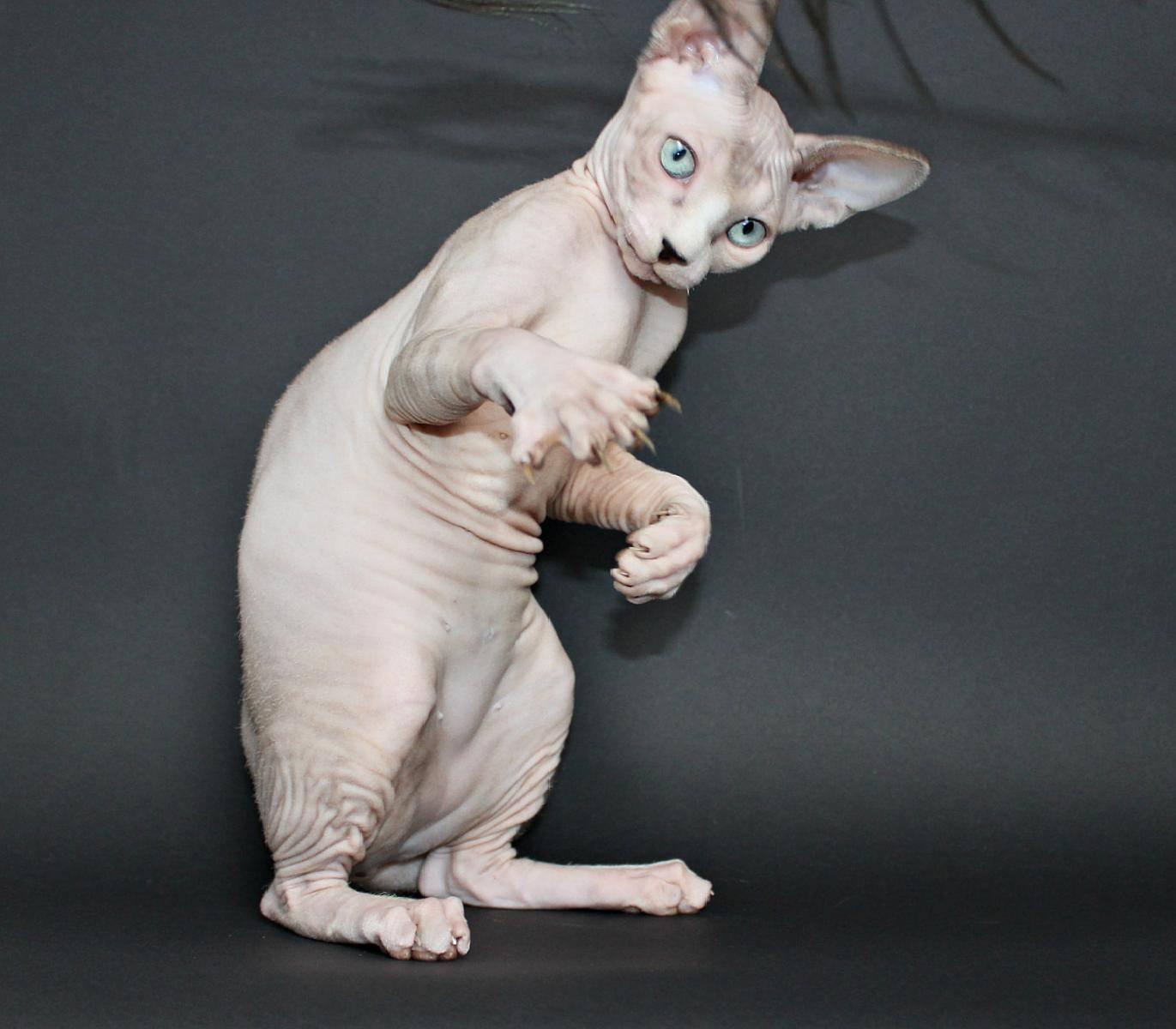 Сколько живут сфинксы? продолжительность жизни стерилизованных и кастрированных котов породы сфинкс. отличается ли срок жизни донских и других разновидностей сфинксов?