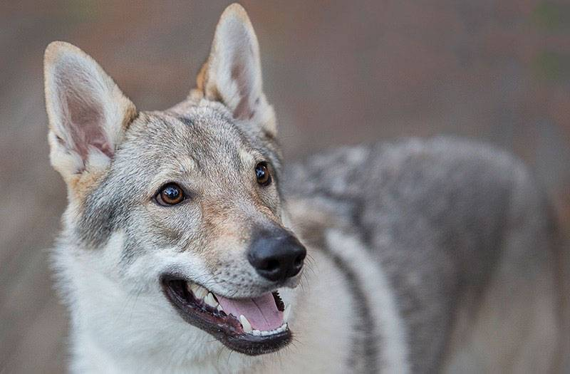 Описание чехословацкой волчьей собаки, стандарт породы, особенности содержания чешского влчака и уход за питомцем