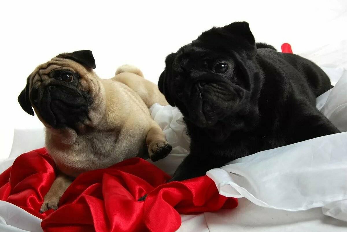 Список самых маленьких собак небольших размеров: описание внешности пород