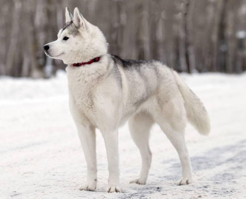 Порода похожая на хаски — аляскинский кликай: описание и характер