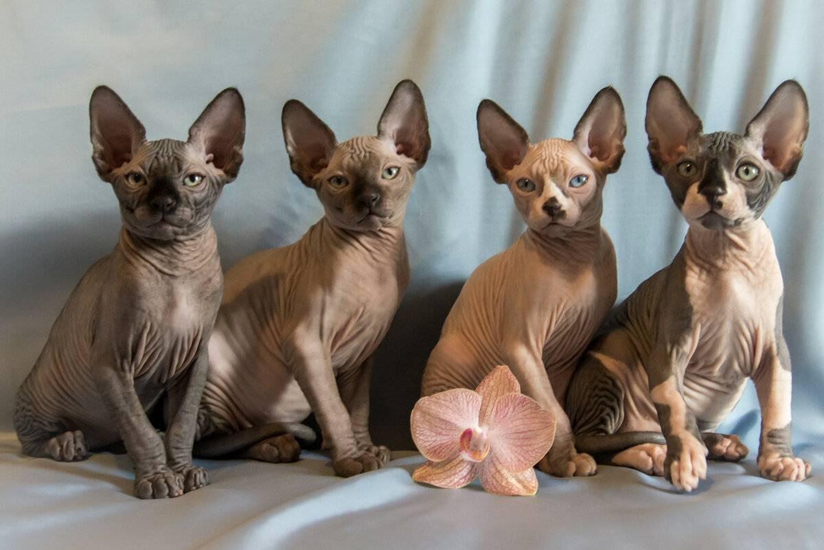 Канадский сфинкс: фото, описание породы кошек, отзывы и цены на котят