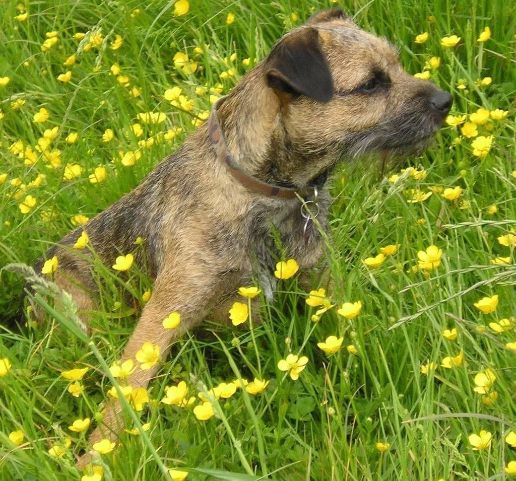 Бордер-терьер — описание породы и характер собаки