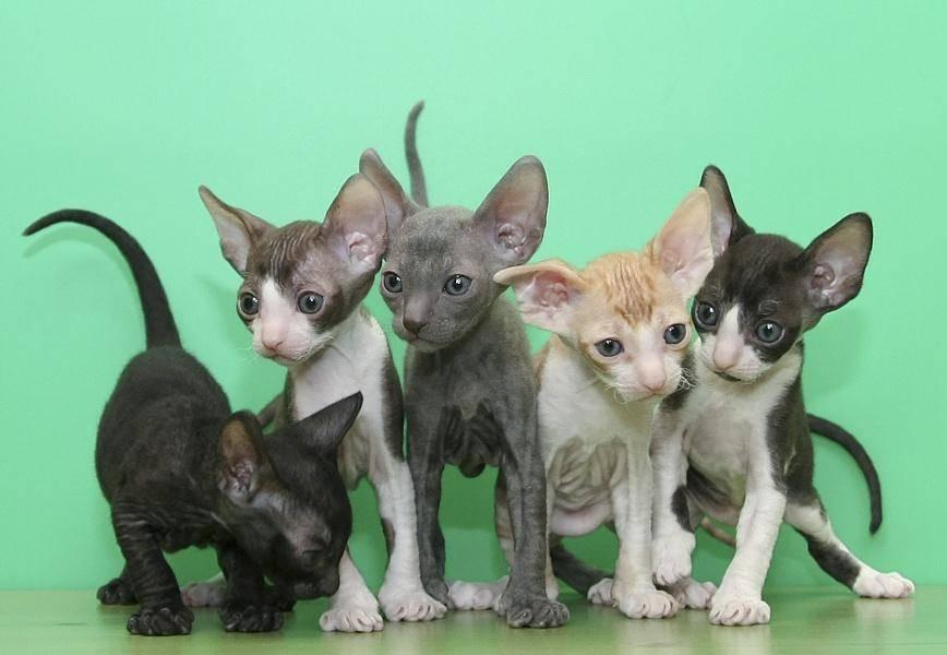 По праву домашние: уход за породой кошек корниш рекс