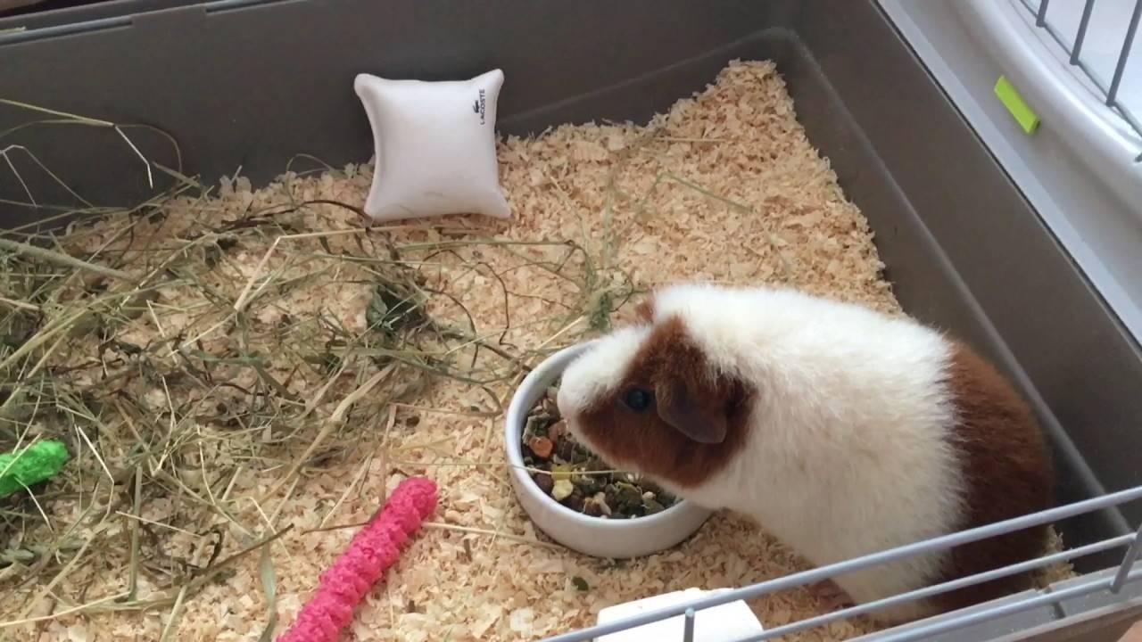 Уход питание и содержание морской свинки в домашних условиях