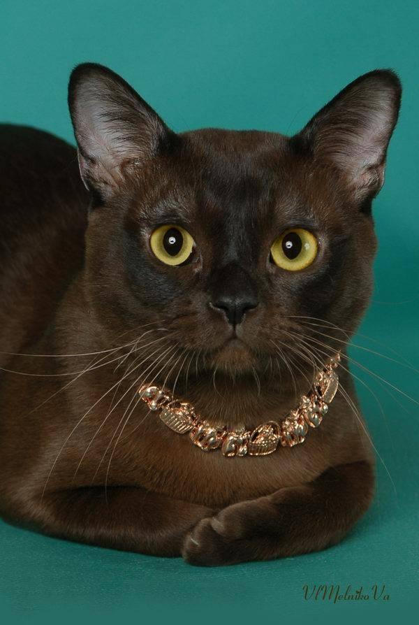 Бурманская кошка: подробное описание, фото, купить, видео, цена, содержание дома