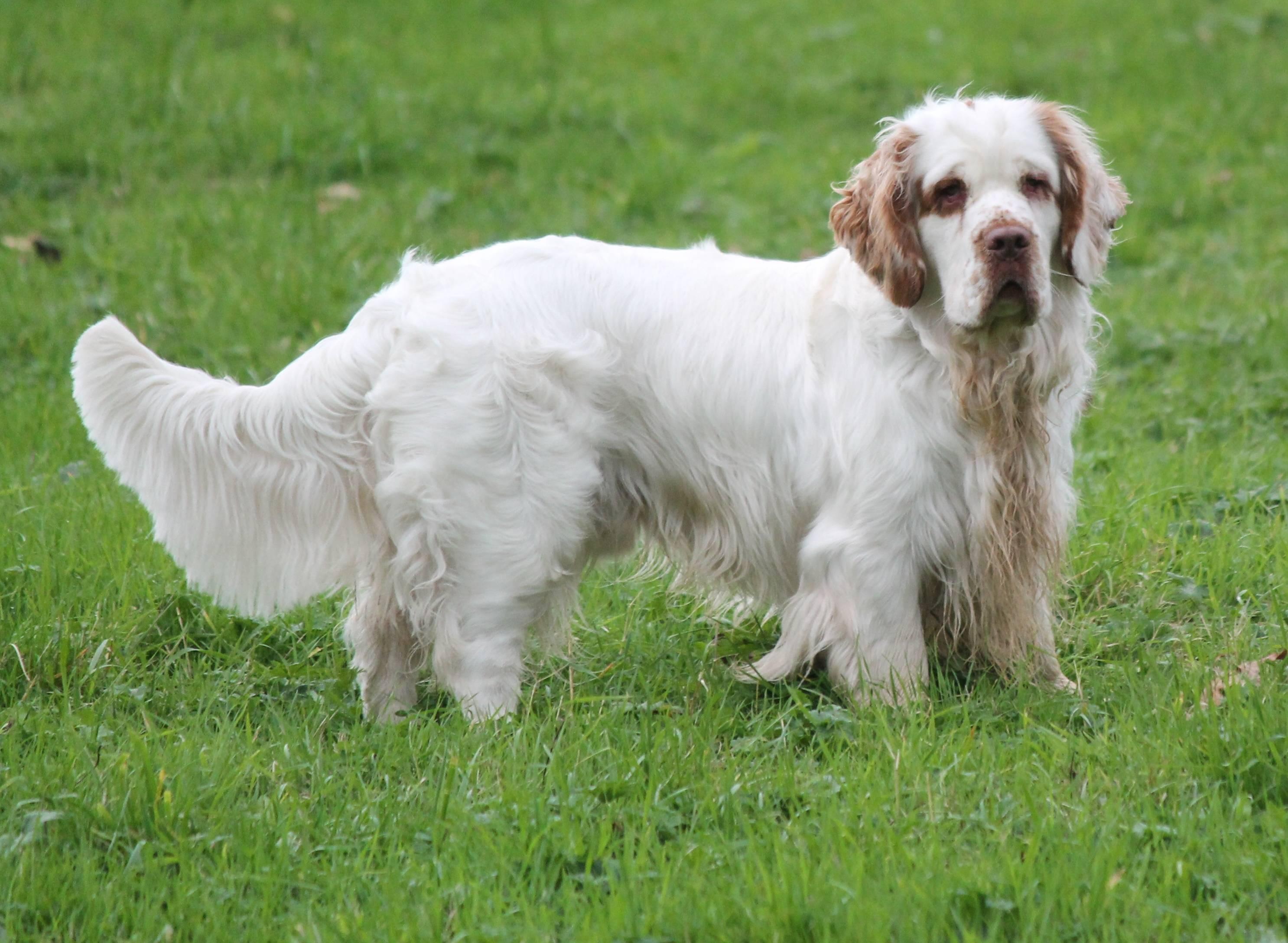 Описание породы собак кламбер спаниель с отзывами и фото