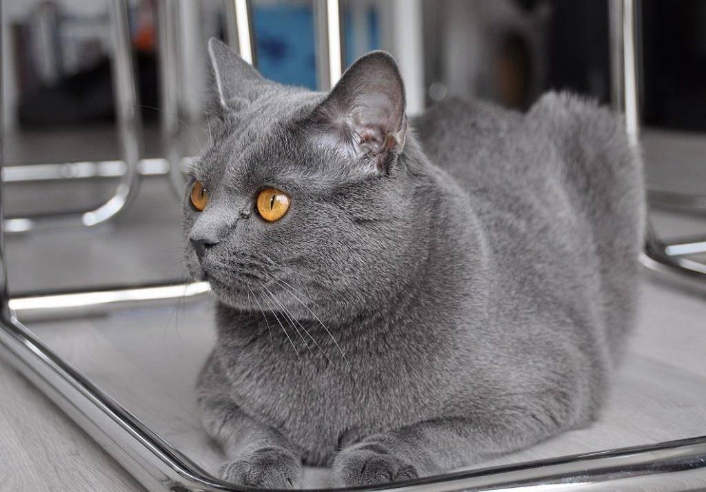Картезианская кошка (шартрез) — описание породы