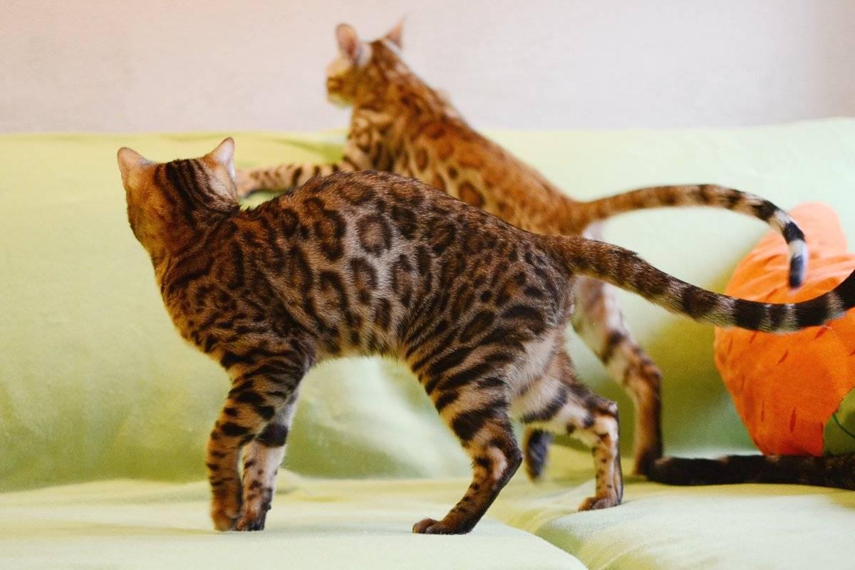 Бенгальская кошка: фото, описание породы, характер, здоровье, уход и содержание