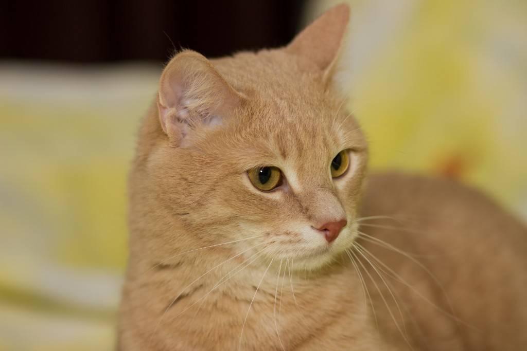 Цейлонская кошка: подробное описание, фото, купить, видео, цена, содержание дома
