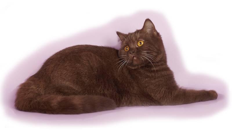 Йоркская шоколадная кошка — описание породы