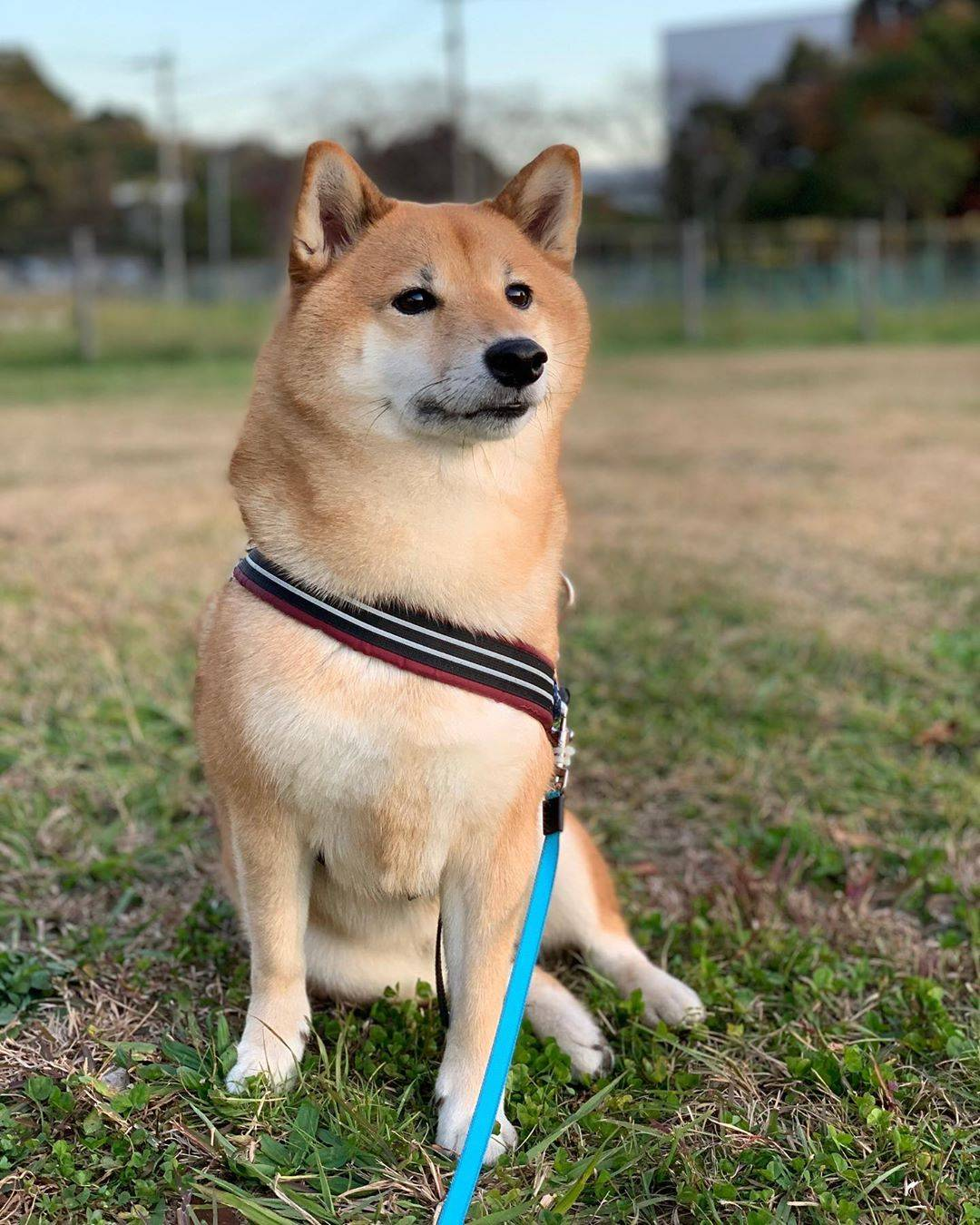 Как выбрать щенка породы сиба-ину?