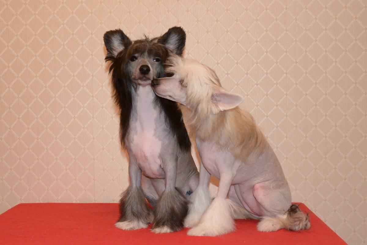 Китайская хохлатая пуховая собака (27 фото): описание породы. чем кормить щенков? особенности ухода за шерстью