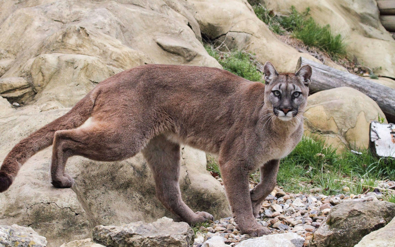 Дикая кошка ягуарунди – маленькая пума: жизнь в естественной среде и в неволе +видео и фото