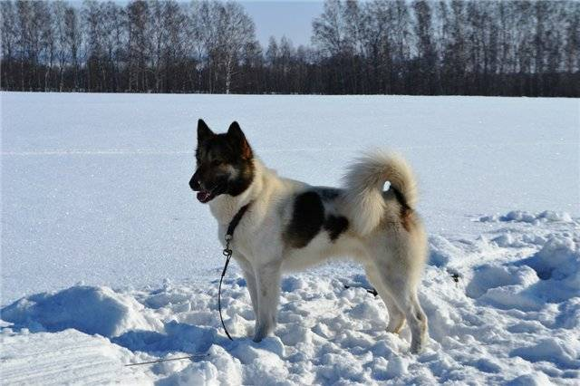 Пиренейская горная собака: все о собаке, фото, описание породы, характер, цена