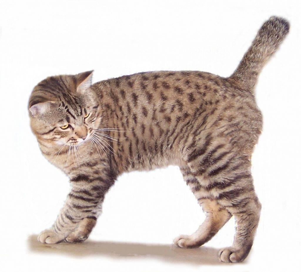 Бобтейл — короткохвостая собака в кошачьем обличье