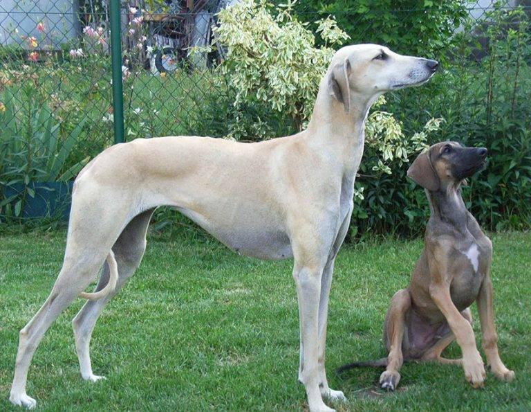 Борзая (собака). афганская борзая. борзая английская :: syl.ru