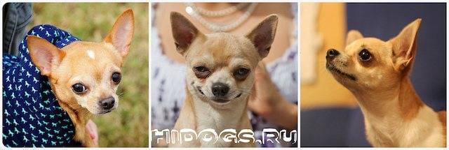 Время начала первой течки у собак породы чихуахуа и ее продолжительность