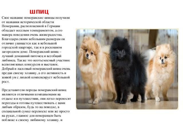 Порода белый японский шпиц: описание стандарта, характеристика и особенности содержания собак